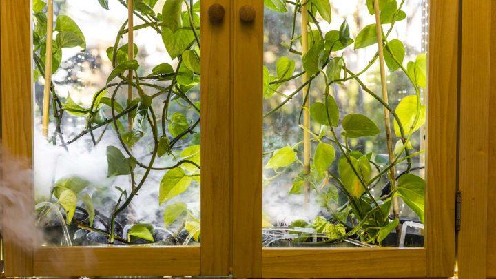 Des plantes avec un gène de lapin pour purifier l'air intérieur